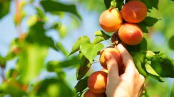 Apricot picking
