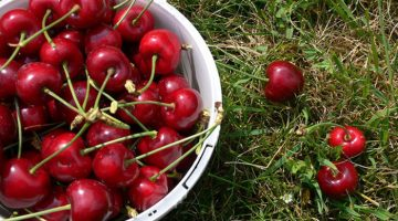Klondyke Cherry Farm