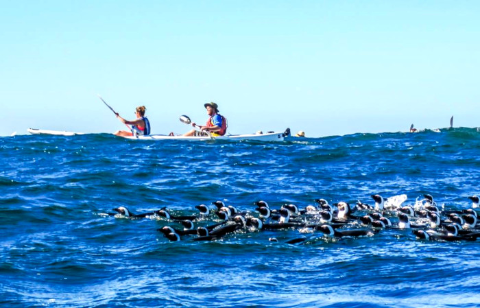 Kayak with penguins in Simon's Town